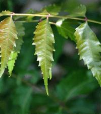 feuilles de eneem