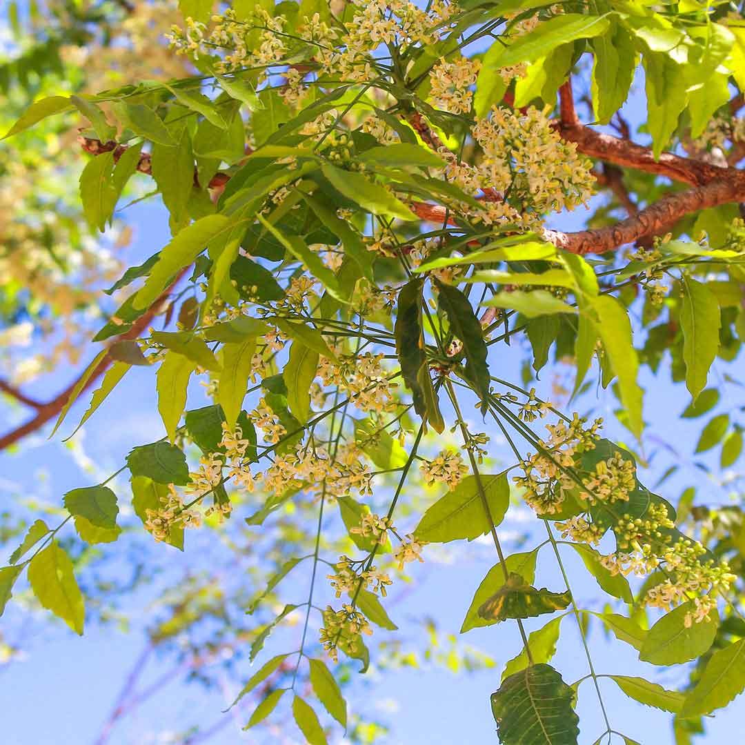 Vertus de l'arbre de Neem