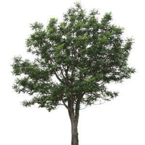 Arbre de Neem, arbre du 21ème sicècle