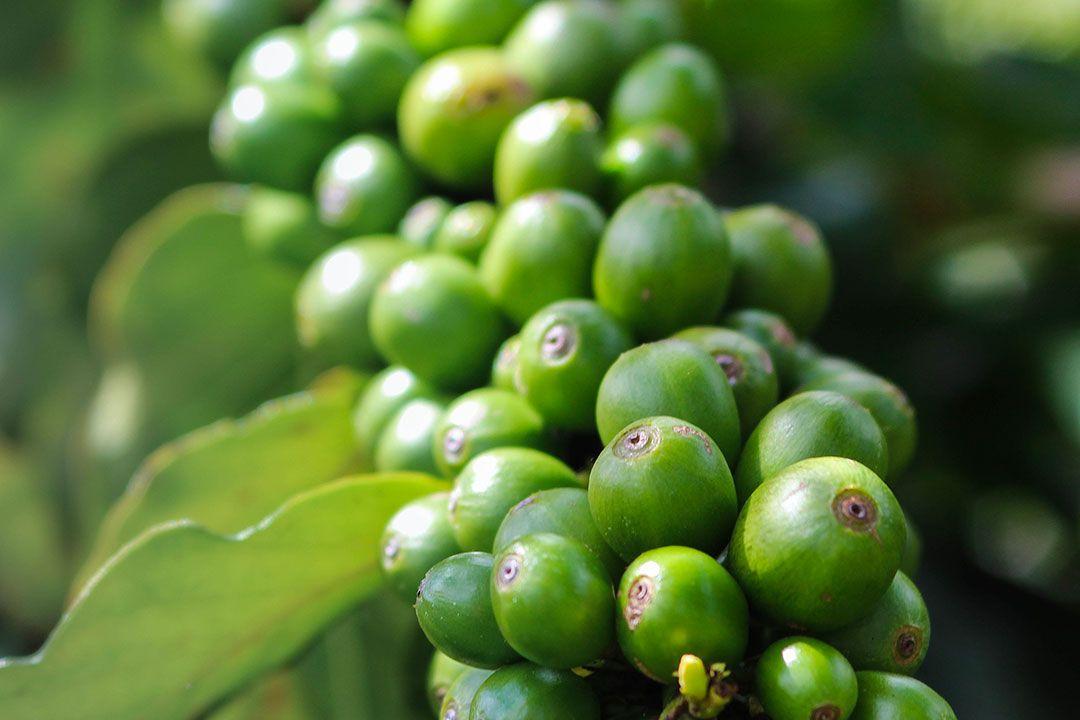 Café vert un ingrédients aux multiples vertus