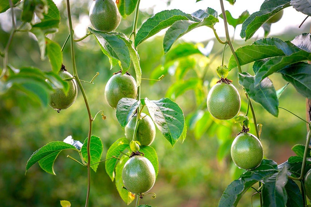 Fruit du passiflore