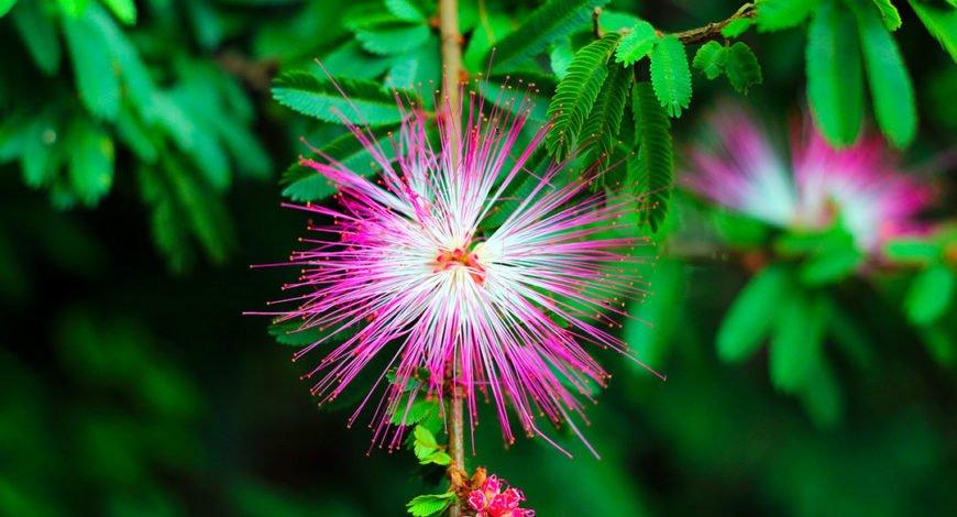 fleur d'arbre à soie ou albizia